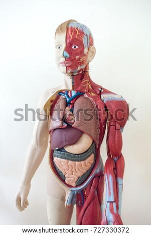 Human Anatomy Muscular System Layout Stock Photo (Royalty Free ...