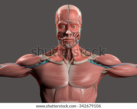 Human anatomy showing face, head, shoulders and torso muscular system, bone structure and vascular system on stylish grey background. - stock photo