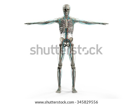 Human anatomy showing front full body, head, shoulders and torso, bone structure and vascular system on a plain white background. - stock photo