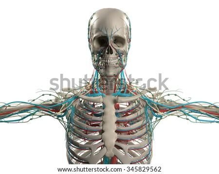 Human anatomy showing head, shoulders and torso, bone structure and vascular system on a plain white background. - stock photo