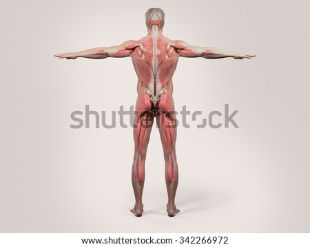 Human anatomy with back view of full body showing muscular system, vascular system and skin on a stylish white background. - stock photo