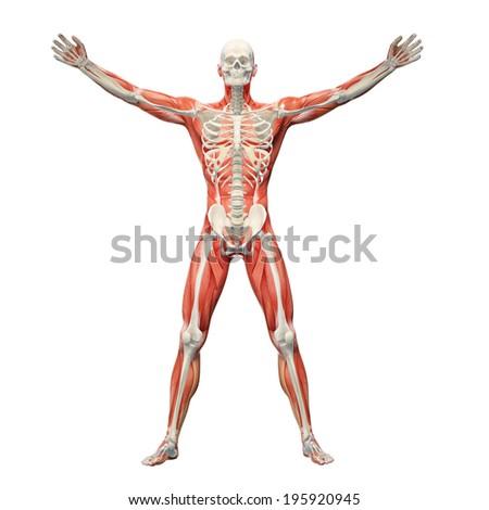 Human Anatomy Visible Skeleton Muscles Stock Illustration 195920945