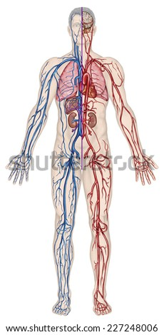 Human bloodstream - didactic board of anatomy of blood system of human circulation sanguine, cardiovascular, vascular, arterial and venous system   - stock photo