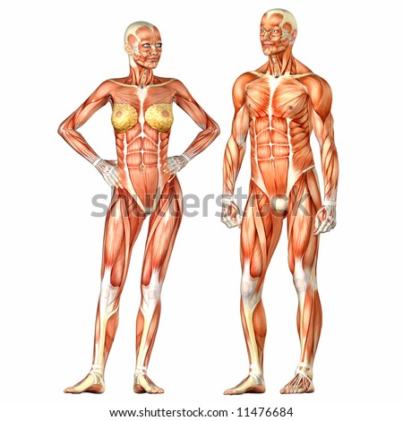Human Body Anatomy Man Woman Stock Illustration 11476684 Shutterstock
