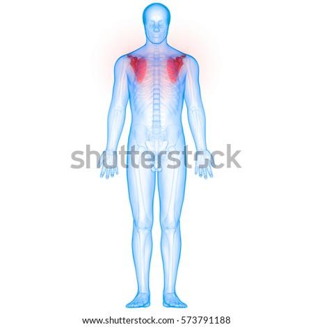 Human Body Bone Joint Pains Anatomy Stock Illustration 573791188 ...