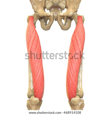 Human Body Muscles Anatomy Rectus Femoris Stock Illustration