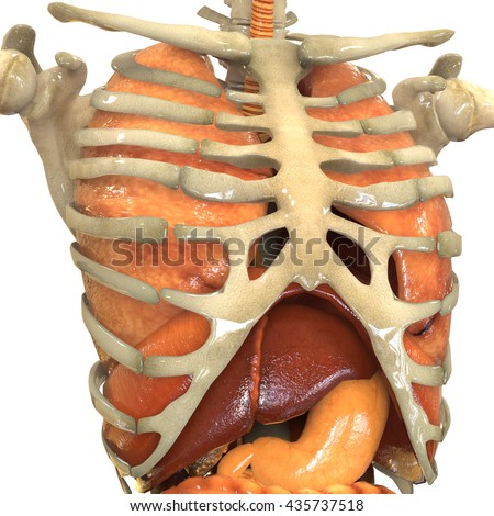 Human Body Organs Anatomy Lungs Liver Stock Illustration 435737518 ...