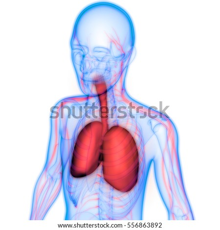 Human Body Organs Lungs Nervous System Stock Illustration 556863892 ...