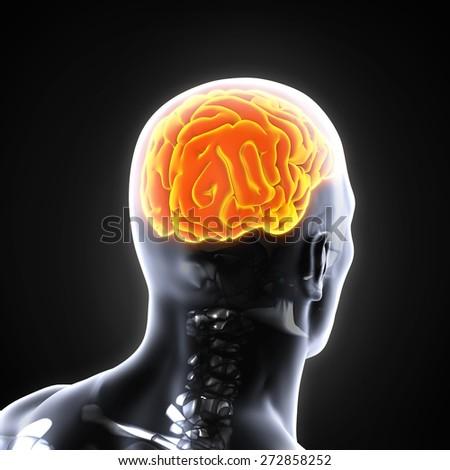 Human Brain Anatomy - stock photo