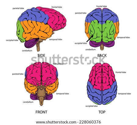 Anatomy Brain 1 Stock Vector 23600296 - Shutterstock