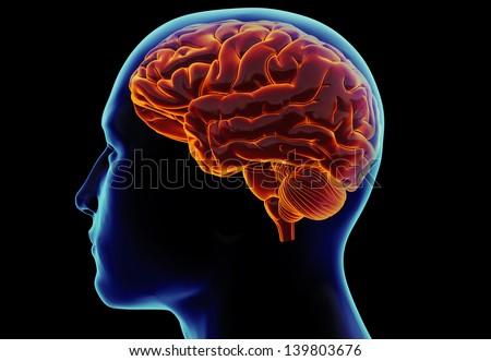 Human brain in the head - stock photo