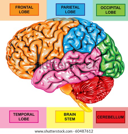 Human brain diagram stock images royalty free images vectors human brain lateral view ccuart Choice Image