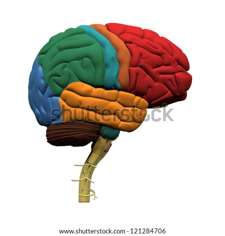 Human Brain Parts - Isolated on white - stock photo