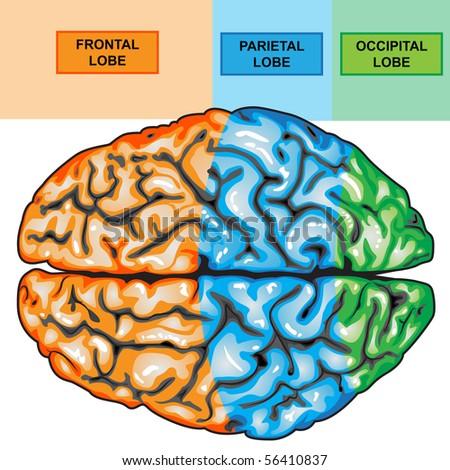 Human brain top view - stock photo