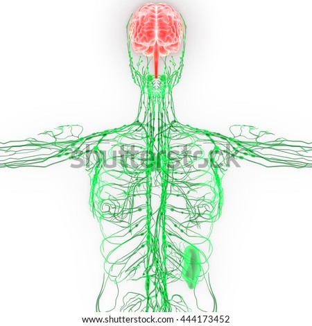 Human Brain with Nerves, Lymph nodes Anatomy. 3D - stock photo