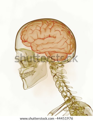 Human brain with skull - stock photo