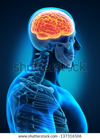 Human Brain with Visible Skull Lateral View - stock photo