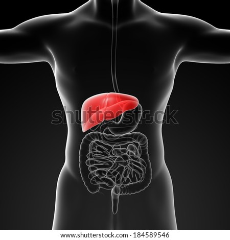 Human digestive system liver red colored - front view - stock photo