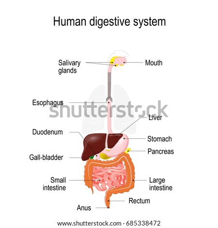 Human digestive system location gastrointestinal tract stock human digestive system location of the gastrointestinal tract in the human body text labels ccuart Image collections