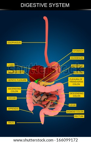 Human Digestive System's Chart. Isolated on dark blue background.