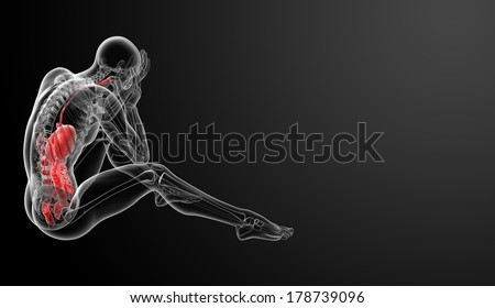 Human digestive system - side view - stock photo