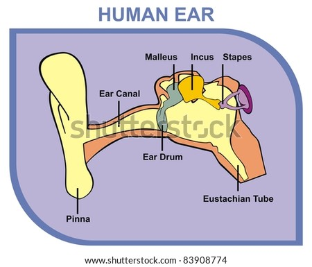 ear canal stock images royalty free images vectors. Black Bedroom Furniture Sets. Home Design Ideas