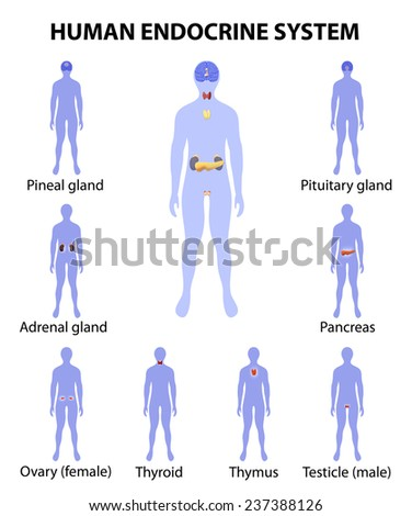 Human endocrine system. Human silhouette with endocrine glands. icons set.  - stock photo
