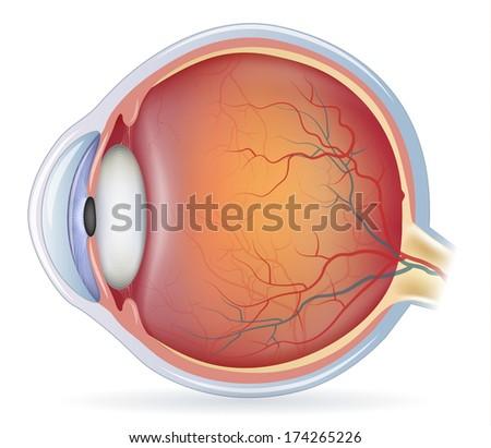 Human eye anatomy, detailed illustration. Isolated on a white background. - stock photo