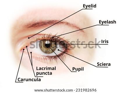 Human eye anatomy diagram - medical description. Blu eye version. - stock photo