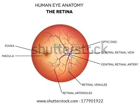 Human eye anatomy, retina, optic disc artery and vein etc. detailed illustration.  - stock photo