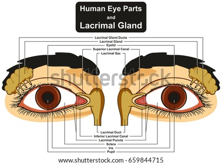 Human eye parts lacrimal gland infographic stock illustration human eye parts and lacrimal gland infographic diagram including pupil iris sclera canal duct sac eyelid ccuart Choice Image