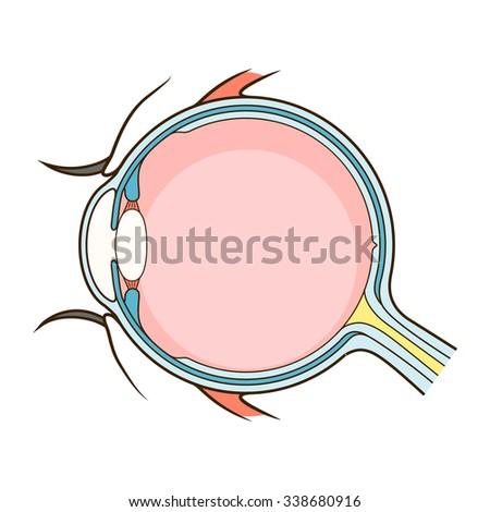 Human eye structure scheme medical raster illustration. Educational material - stock photo