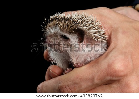 Human hand and Little Hedgehog isolated on Black Background