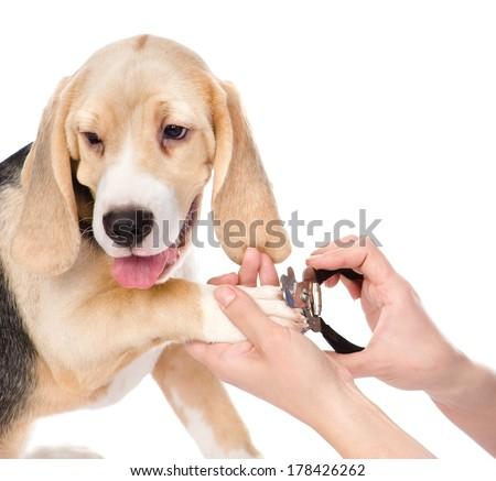 human hand cutting dog toenails. isolated on white background - stock photo