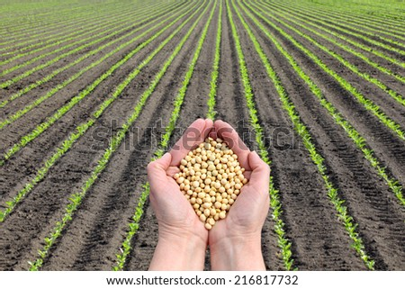 Human hand holding soybean with soy plant field  in background, agricultural concept - stock photo