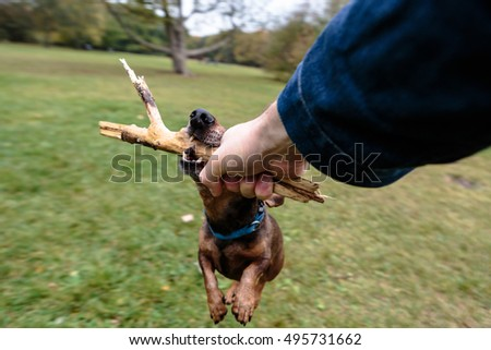 Human Hand Holding Stick Spining Brown Dachshund Around Over Green Field.