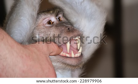 Human hand shows the teeth in the baboon mouth  - stock photo