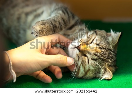 Human Hand stroking shin of cute sleeping cat - stock photo