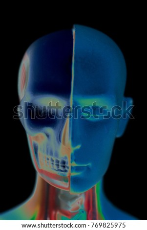 Human Head Anatomy Model 3 D Illustration Stock Illustration