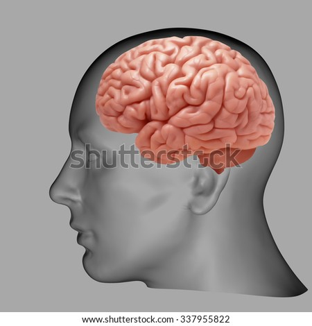 human head with brain and Grey background  - stock photo