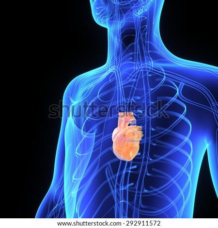 Female throat anatomy