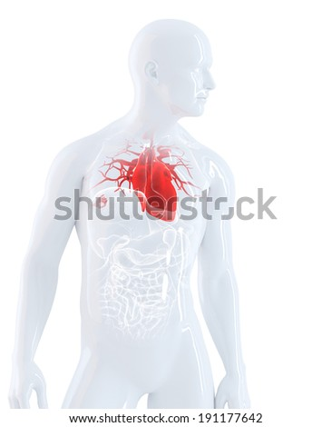 Human heart anatomy. Isolated. Contains clipping path - stock photo