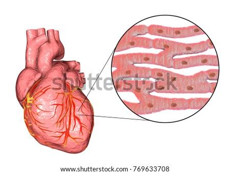 Human Heart Closeup View Cardiac Muscle Stock Illustration 769633708 ...