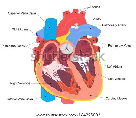 Human Heart Cross Section - stock photo