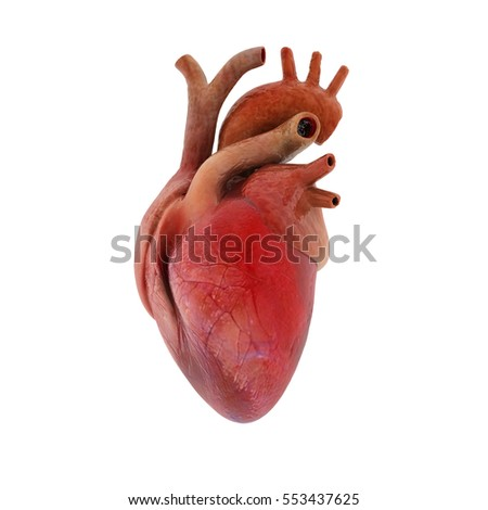 Human heart 3d render heart human stock illustration 553437625 human heart 3d render heart human isolated on white ccuart Images