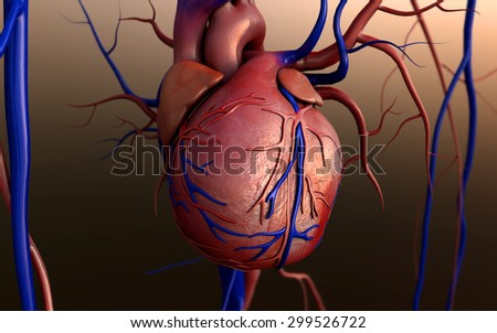 human heart, Heart model, Human heart model, Full clipping path included, Human heart for medical study, Human Heart Anatomy - stock photo