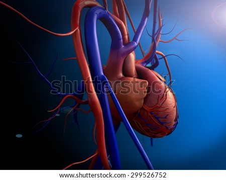 human heart, Heart model, Human heart model, Full clipping path included, Human heart for medical study, Human Heart Anatomy, heart side view - stock photo
