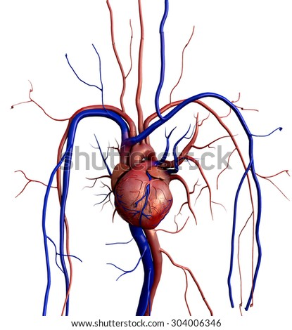 human heart, Heart model w/clipping path, Human heart model, Full clipping path included, Human heart for medical study, Human Heart Anatomy - stock photo