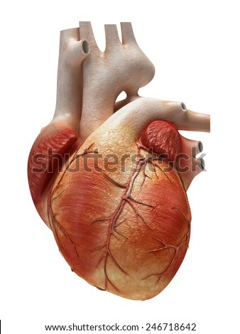human heart isolated on white - stock photo