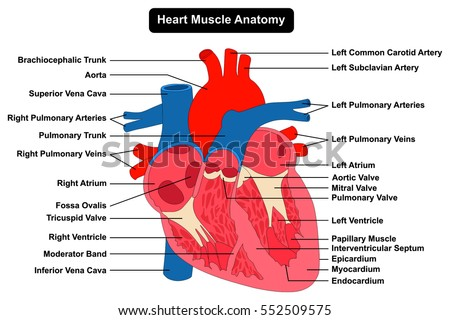 Human heart muscle anatomy infographic chart stock illustration human heart muscle anatomy infographic chart figure with all parts aorta aortic arch artery vein right ccuart Image collections